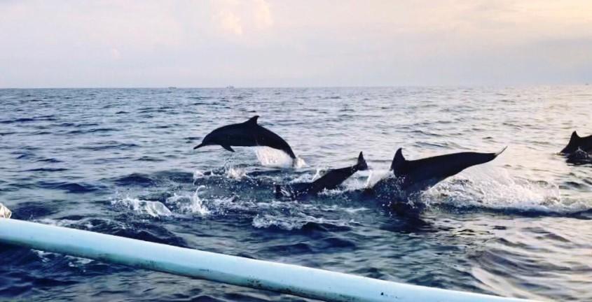 Dolphin At Lovina